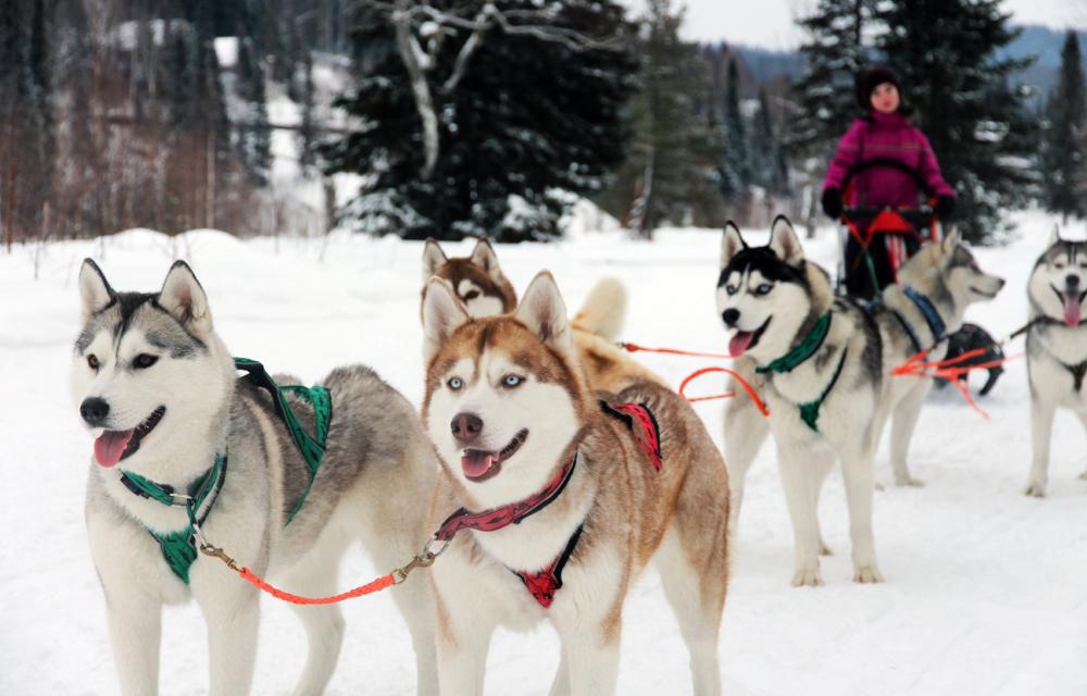 Катание на собачьей упряжке Горнолыжный курорт Шерегеш в Кемеровской области